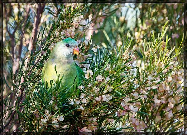Superb Parrot♀