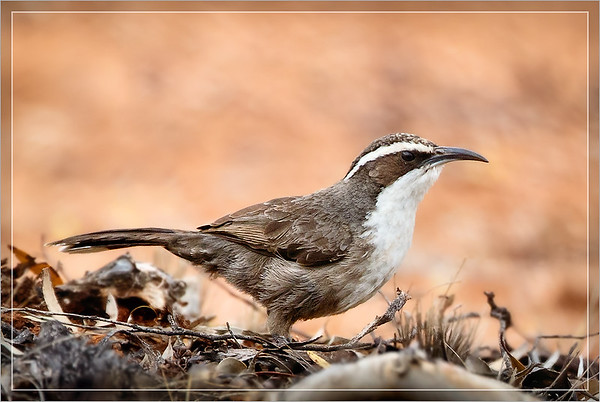 White-browed Babbler