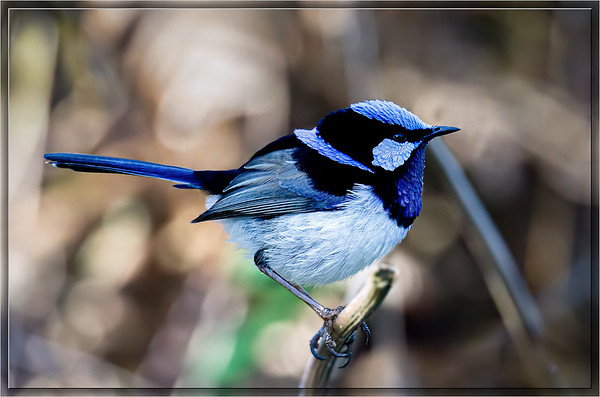 Superb Fairywren    ♂