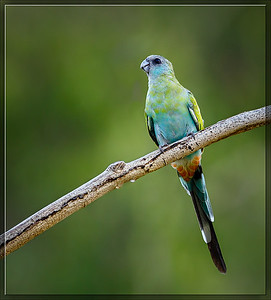 Hooded Parrot    ♀
