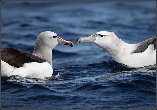Salvin's Albatross & Shy Albatross