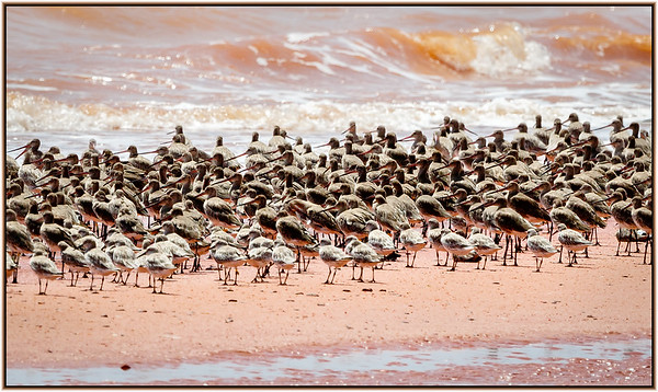 Bar-tailed Godwit, Black-tailed Godwit, Great Knot