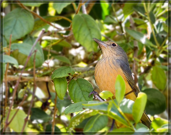 Bower's Shrikethrush