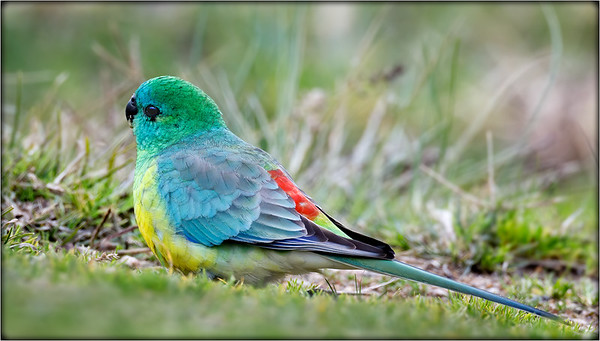 Red-rumped Parrot    ♂