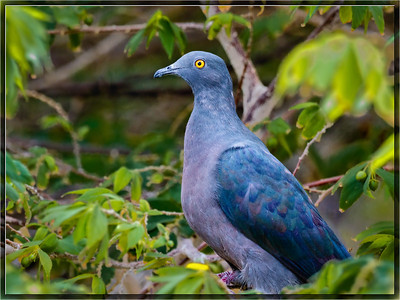 Christmas Imperial Pigeon