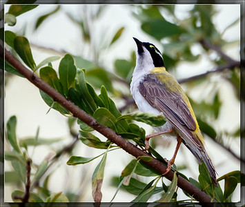 Black-chinned Honeyeater  (Golden-backed Honeyeater)