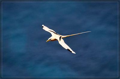 White-tailed Tropicbird  (Golden Bosunbird)