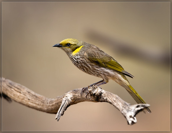 Yellow-plumed Honeyeater