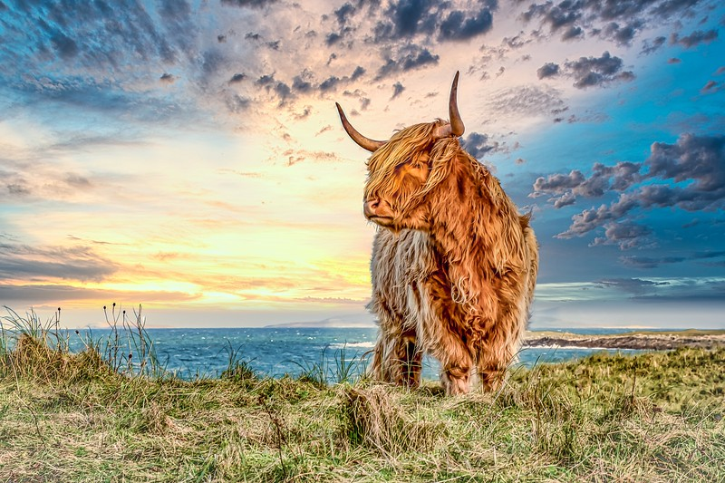 Highland Cow, Vallay