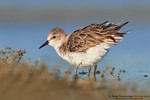 Red-necked Stint (Calidris ruficollis)
