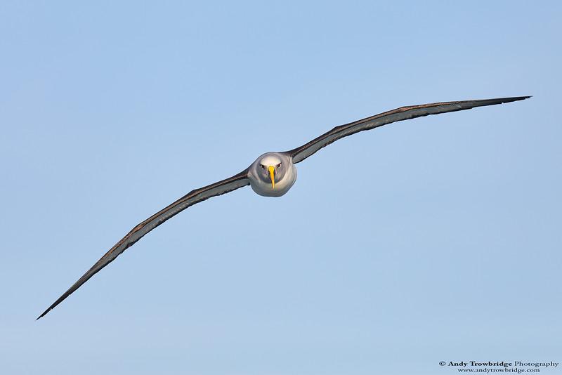 Buller's Albatross (Thalassarche bulleri)