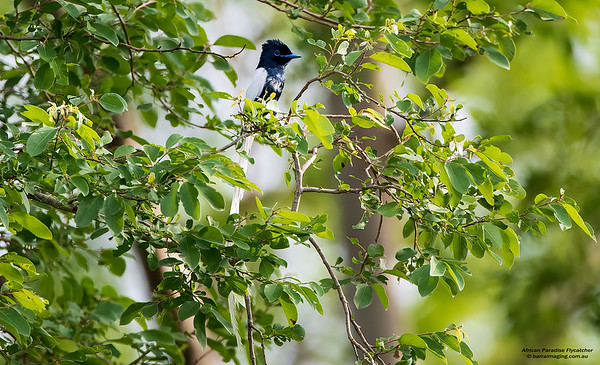 African Paradise Flycatcher male