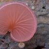 Pink crepidotus