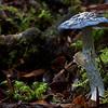 Cortinarius metallicus