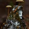 Simocybe phlebophora