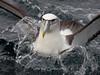 Buller's Albatross (Mollymawk)