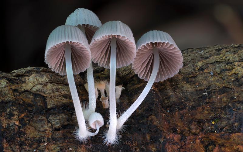 Coprinus sp.