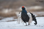 Black Grouse (Tetrao tetrix), Norway - Stock Photo