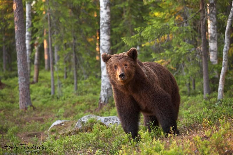 European Brown Bear (Ursus arctos arctos), Kajaani, Finland.