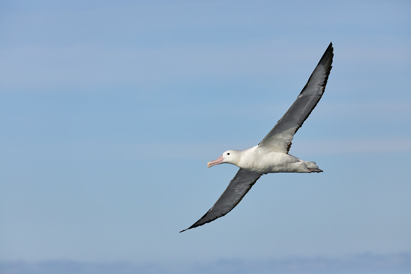 Northern Royal Albatross (Diomedea sanford)