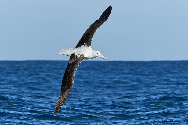 Northern Royal Albatross (Diomedea sanford)