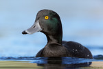 New Zealand Scaup (Aythya novaeseelandiae)
