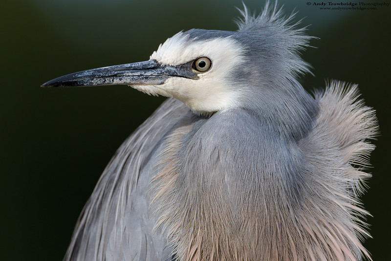 White-faced heron (Egretta novaehollandiae)