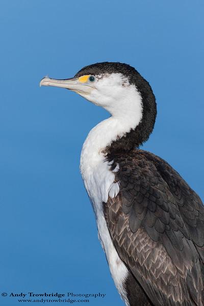 Pied Cormorant / Shag (Phalacrocorax varius)