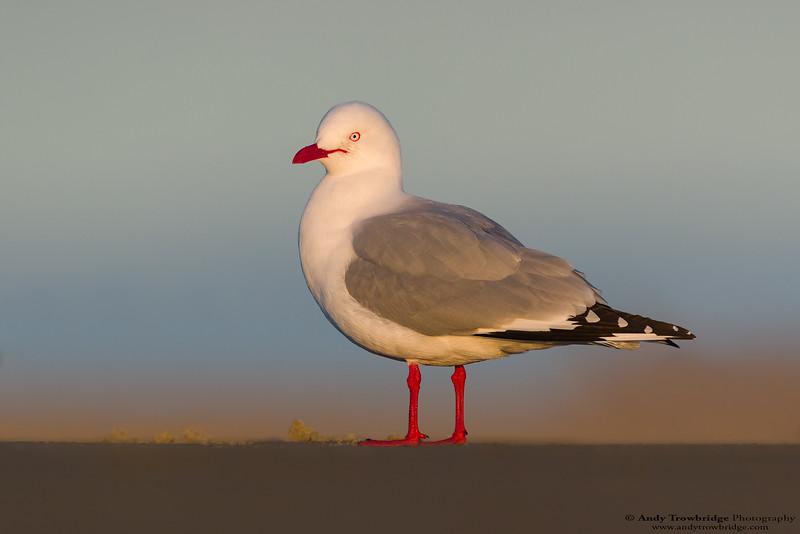Red-billed Gull (Chroicocephalus scopulinus)