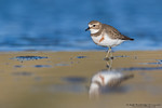 Banded Dotterel  / Double-banded Plover (Charadrius bicinctus)