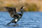 Great Cormorant / Black Shag (Phalacrocorax carbo)