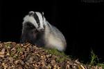 Eurasian Badger (Meles meles)