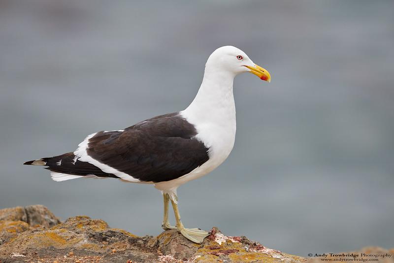 Southern Black-backed / Kelp Gull (Larus dominicanus)