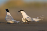 White-fronted tern (Sterna striata)