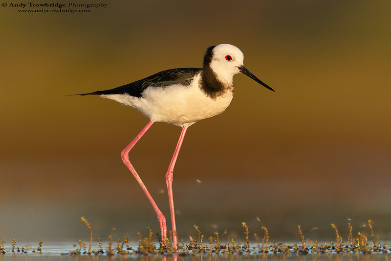 Pied Stilt / Black-winged Stilt (Himantopus himantopus)