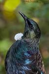 Tui (Prosthemadera novaeseelandiae)