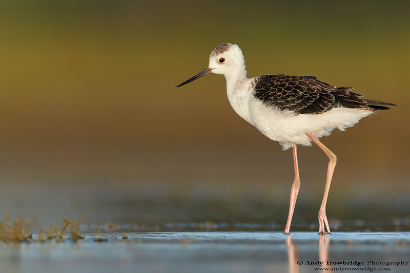 Juvenile Pied Stilt / Black-winged Stilt (Himantopus himantopus)