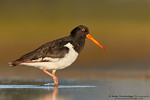 South Island Pied Oystercatcher (Haematopus finschi)