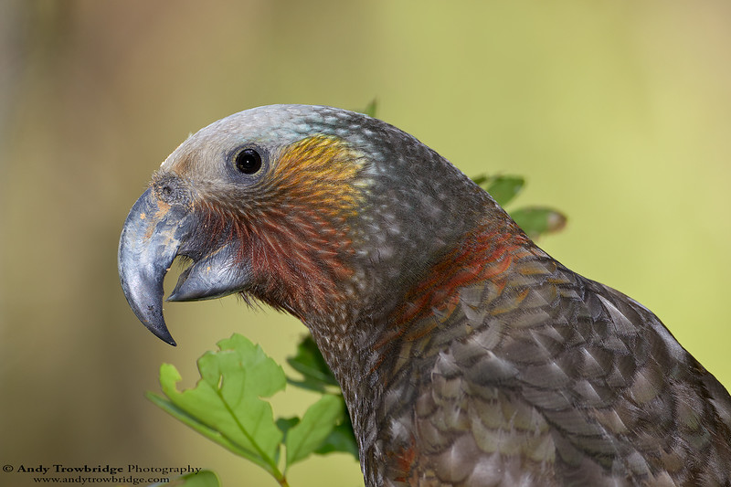 South Island Kaka (Nestor meridionalis meridionalis)
