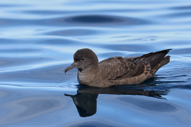 Sooty Shearwater (Puffinus griseus)