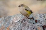 Rock Wren (Xenicus gilviventris)