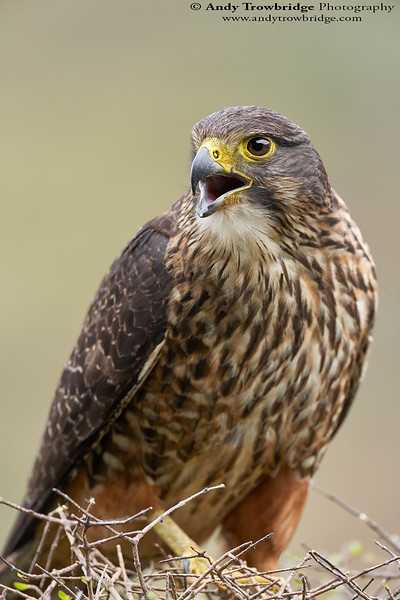 New Zealand Falcon (Falco novaeseelandiae)