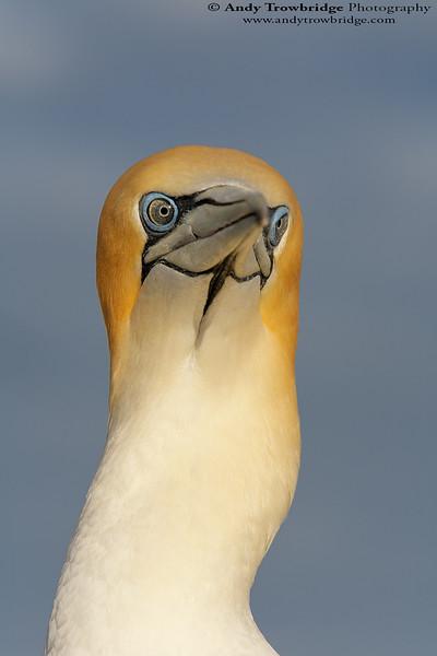 Australasian Gannet (Morus serrator)