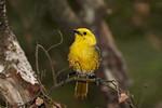 Yellowhead (Mohoua ochrocephala)
