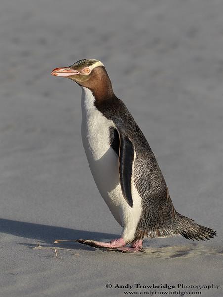 Yellow-eyed Penguin (Megadyptes antipodes)