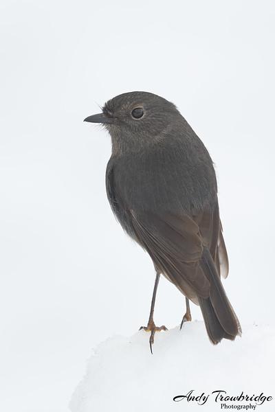 South Island Robin (Petroica australis australis)