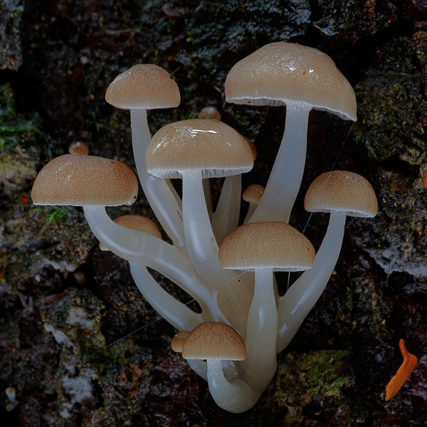 Mycena austrororida