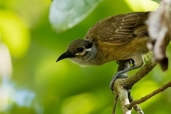 Tawny-breasted Honeyeater
