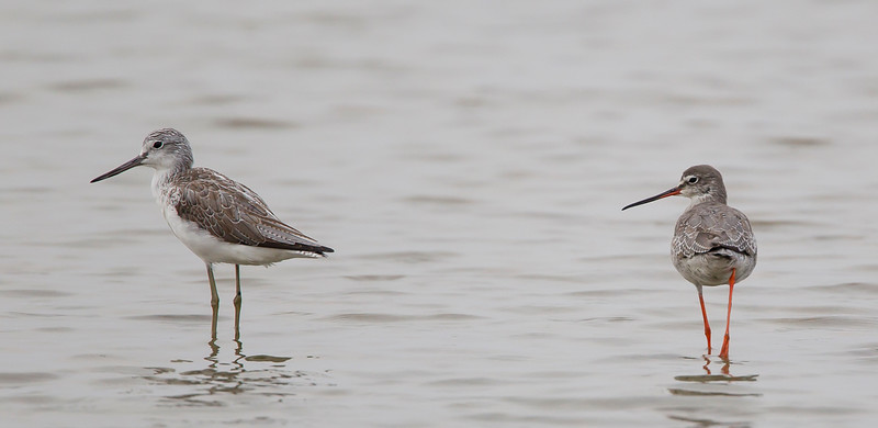 Common Greenshank and Spotted Redshank