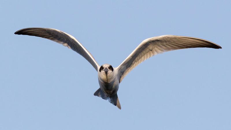 Australian Tern